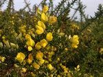 Tornblad (Ulex europaeus)
